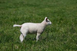agnello in piedi nell'erba verde