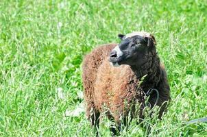 pecore al pascolo nel prato foto