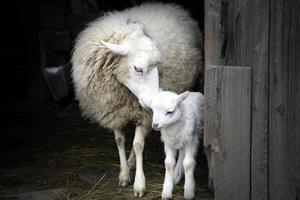 istinto materno. pecora e agnello. foto