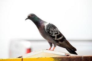 singolo uccello - piccione selvatico o piccione selvatico foto