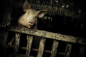 maiale agricolo dall'aspetto povero foto