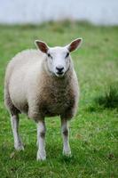 giovani pecore adulte in piedi in un campo