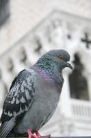 piccione in piazza san marco, venezia, italia.