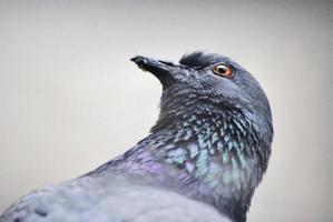 piccione isolato sfondo foto