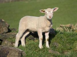 simpatici agnelli primaverili, West Yorkshire foto