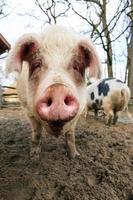 muso di maiale foto