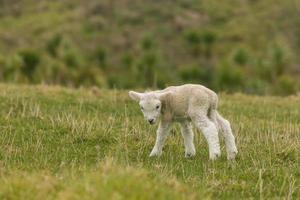 curioso agnello appena nato foto
