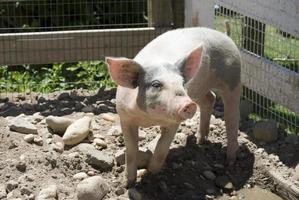 maiale rosa e grigio foto