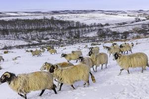 le pecore cercano foraggio dopo la tempesta di neve, yorkshire, regno unito.