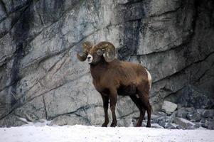 ram di bighorn foto