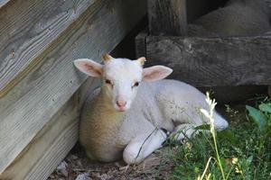 agnello bianco foto
