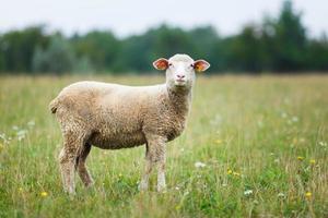 agnello sul prato foto