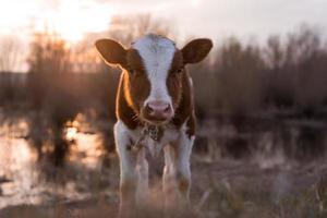 mucca di vitello che esamina la macchina fotografica al tramonto