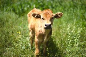 bellissimo vitello foto