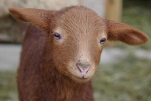 agnello pasqua carino foto