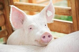 un giovane maiale appoggia la testa in una penna all'esterno foto