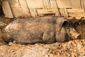maiale addormentato foto