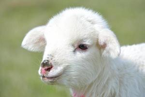 curioso agnellino foto