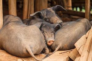 maiali addormentati foto