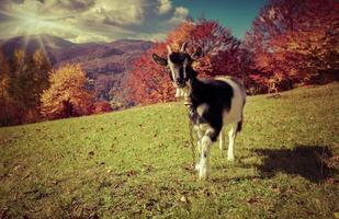 giovane capra al pascolo in montagna in autunno