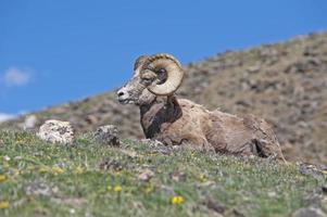pecore bighorn nelle montagne rocciose