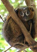 Lemure topo marrone (microcebus rufus) foto