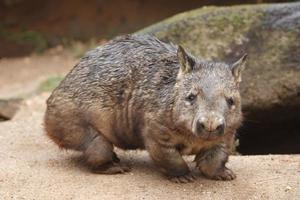 wombat foto