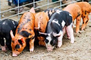 maialini vicino al recinto