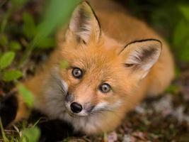 faccia di volpe rossa