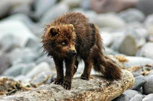 volpe artica, isola di yankicha, siberia