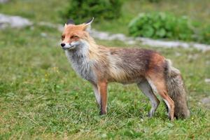 volpe della fauna selvatica