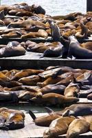 colonia di leoni marini foto