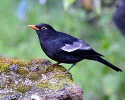 l'uccello nero, il merlo dalle ali grige (turdus boulboul) in piedi