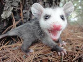 opossum bambino arrabbiato foto