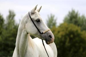 bellissimo colpo di testa di un cavallo arabo su sfondo naturale foto
