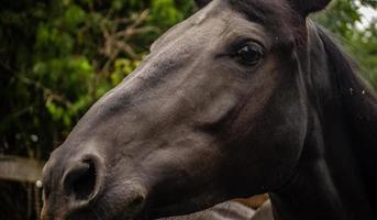 primo piano di una giumenta scura nel recinto di una stalla