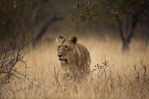 leonessa che cammina attraverso il cespuglio