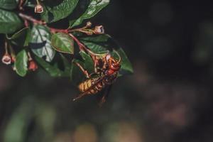 calabrone appeso a un ramoscello e bere il nettare dal fiore.