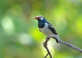 uccello (storno pezzato asiatico), Tailandia foto
