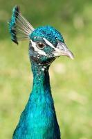 ritratto di un pavone maschio colorato (pavo)