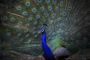 pavone indiano maschio con bella coda di fan