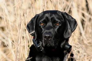 il cane da caccia è tutto affari foto