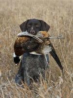 primo piano del cane da caccia con uccello morto in bocca foto