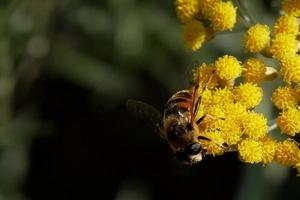 pianta di curry, currykraut - helichrysum italicum e la vespa ...
