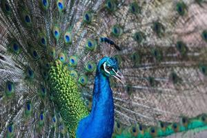 Ritratto di bellissimo pavone