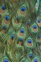 piume di pavone sfondo astratto