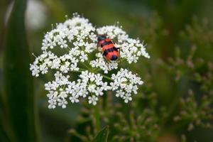 scarabeo di meloidae foto