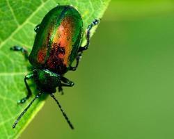 scarabeo di dogbane foto