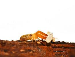 termite foto
