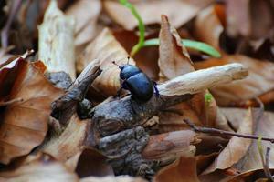 scarabeo stercorario su foglie marroni
